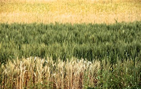 Record Wheat Stocks Weigh On Prices | Seeking Alpha